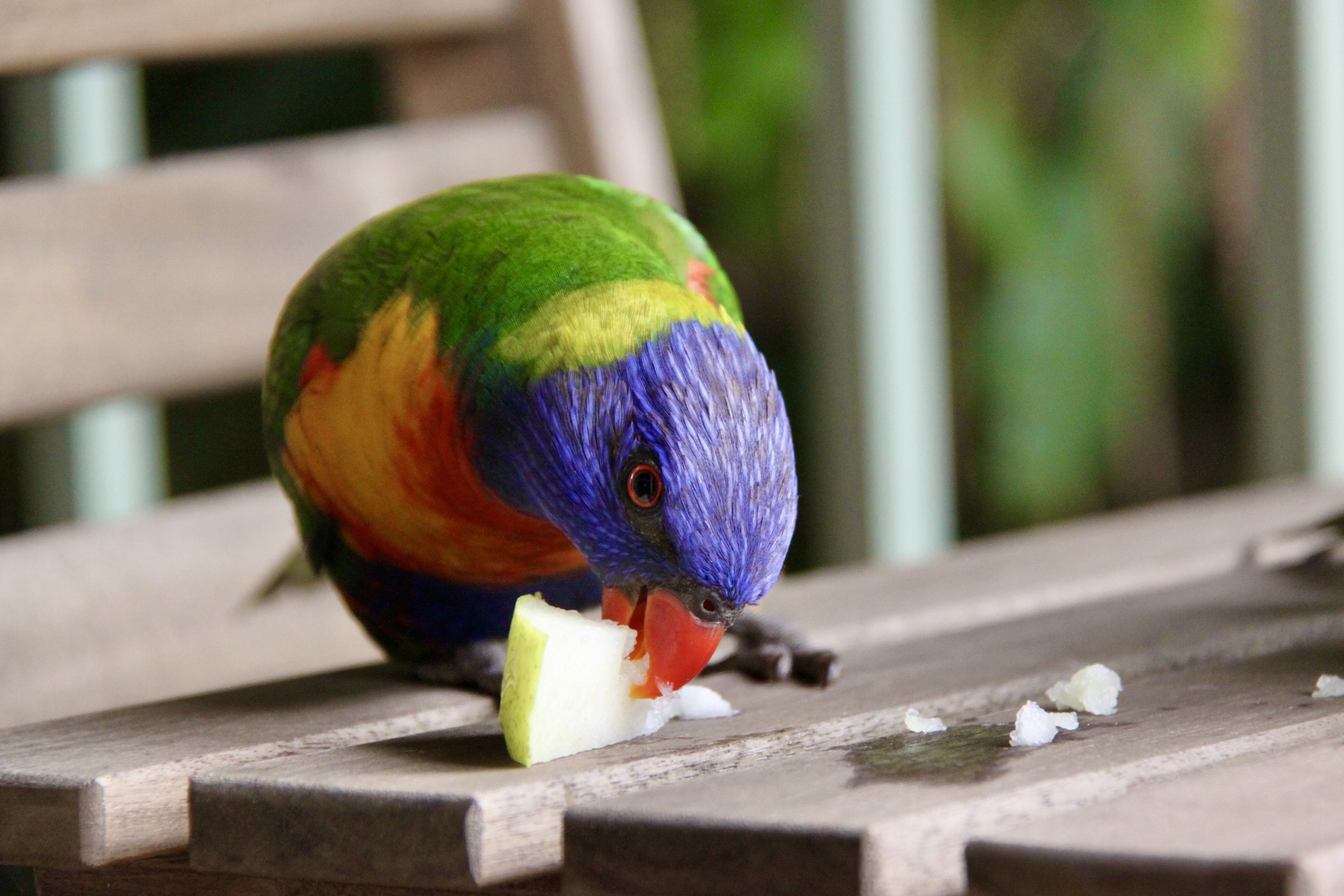 A rainbow lorikeet holds a piece of pear down to eat it while on an outdoor setting with a railing and macadamia tree in the background