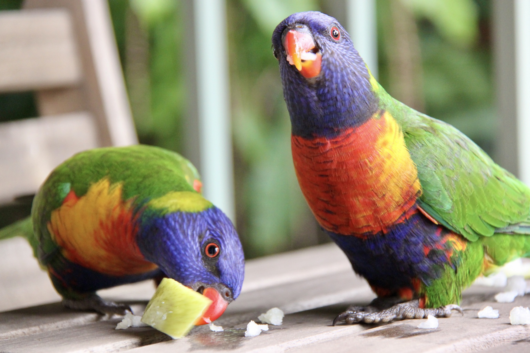 Two rainbow lorikeets eating pear on an outdoor setting with a railing and macadamia tree in the background